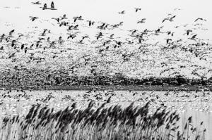 34 -Snow Geese Prime Hook NWR