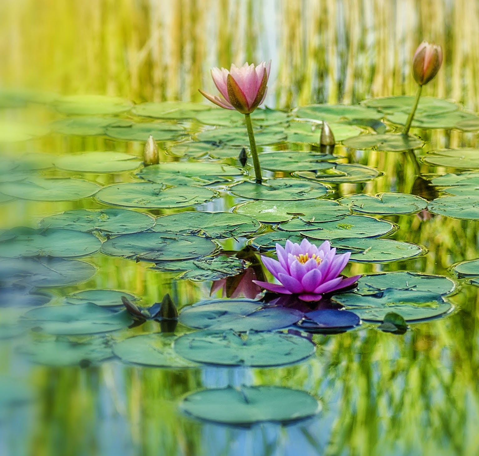 Water Lily: Lilypons' Water Lilies (5 Images)