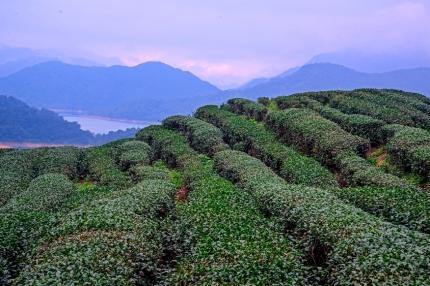 Tea Field 2