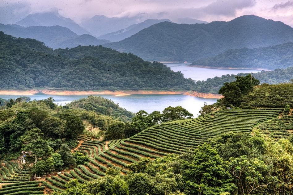 Tea Field 5