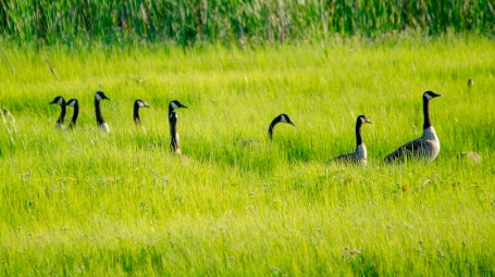 "Canada Geese ""On Alert"""