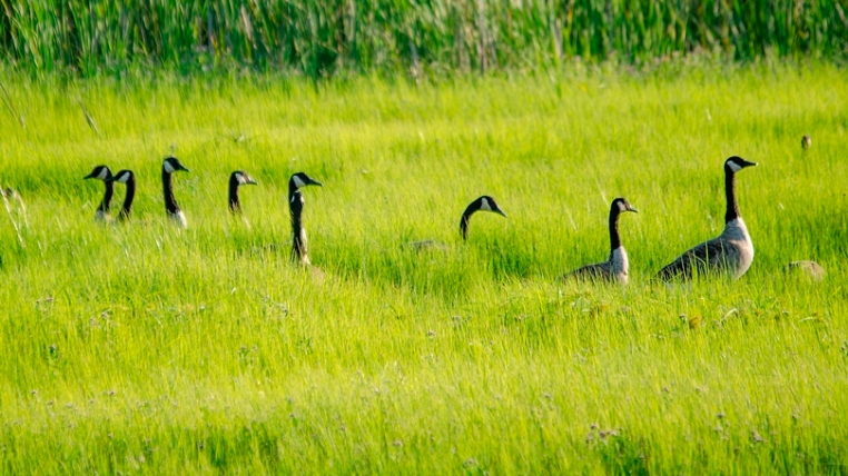 """Canada Geese """"On Alert"""""""
