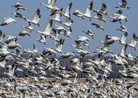 Snow Geese in the Winter