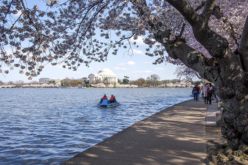 Travel to see the Cherry Blossom Season in Washington DC 2
