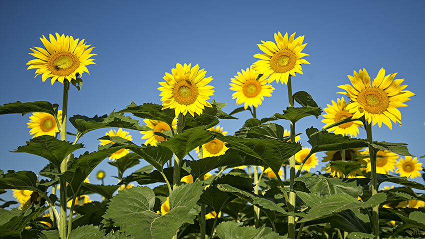 Sunflowers Under Morning Light